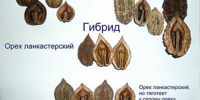 Ланкастерский орех - альтернатива грецкому!