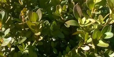 Самшит приобрел бледный вид, на листьях белый налет. Чем помочь?