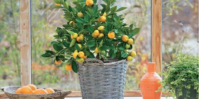 Приручите яркий фрукт, или Как ухаживать за цитрусовыми