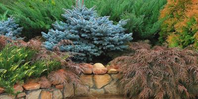 Колючие секреты: создаем на своем участке хвойный сад