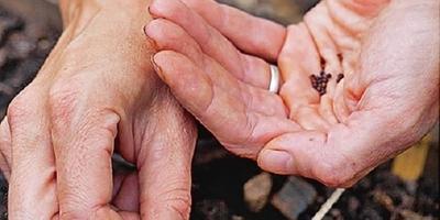 Кольраби — капуста без кочана. Посадка и уход