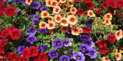 В гостях у сказочных цветов: петуния и калибрахоа