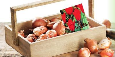 Тюльпаны и секреты их посадки