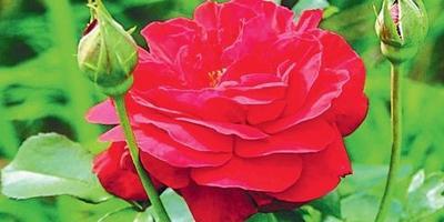 Особенности весенней обрезки роз