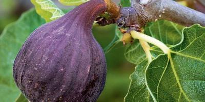 Деликатес в горшке: выращиваем инжир
