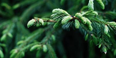 Ель - царица лесов