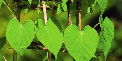 Как вырастить зеленую башню из ипомеи