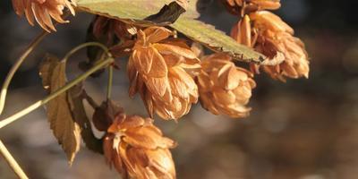 Хмель — красивая лиана или находка для гурмана?