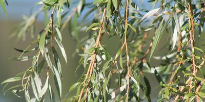 Как посадить и вырастить иву