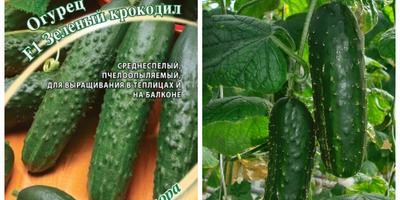 Огурцы на подоконнике: выбираем сорта и гибриды от агрофирмы «Гавриш»