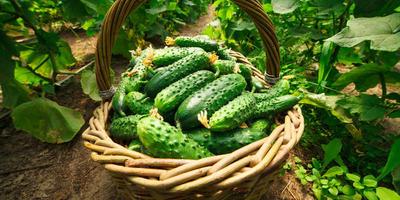 Выращиваем огурцы с агрофирмой «Гавриш»