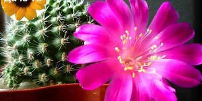 Как ухаживать за кактусами и заставить их цвести?