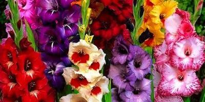 Как выбрать луковицу гладиолуса, георгина, лилии?