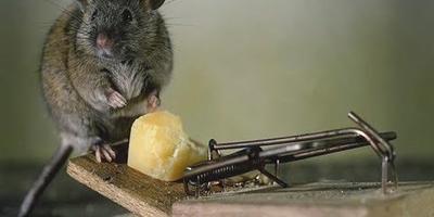 Как защитить сад от мышей? Идеальная мышеловка своими руками