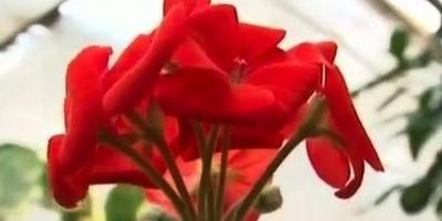 Как черенковать цветы?