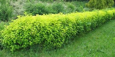 Из чего вырастить живую изгородь?