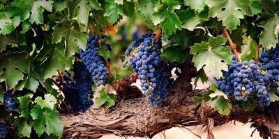 Как ухаживать за виноградом?  И защитить его от заморозков?