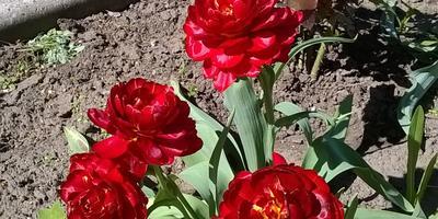 Тюльпановый ручей