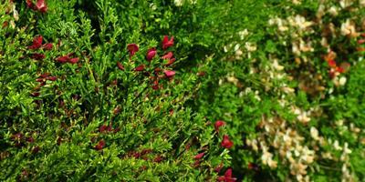 Подскажите название цветущего кустарника