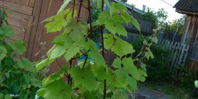 Надо ли обрезать виноград?