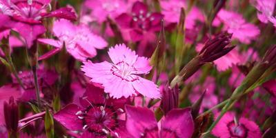 Гвоздика-травянка украсит любой уголок сада