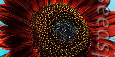 Солнечные цветы - декоративные подсолнечники