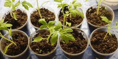 Томат Северенок F1. III этап. Развитие растений и уход за ними