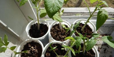 Томат Снежный барс. III этап. Развитие растений и уход за ними