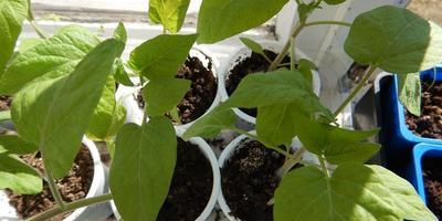 Томат Клондайк. III этап. Развитие растений и уход за ними