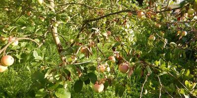 Как вылечить яблоню?