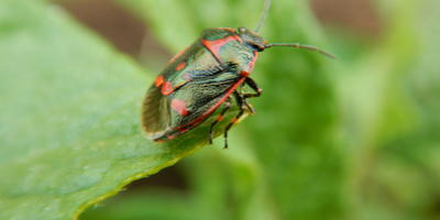 Как называется этот жук?