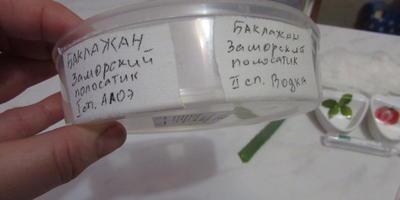 """Тест на всхожесть баклажана """"Заморский полосатик"""""""