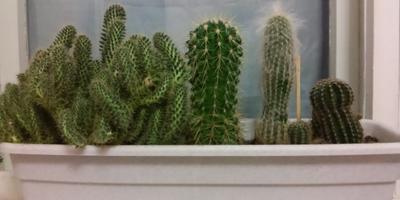 Веселые ребята – кактусята