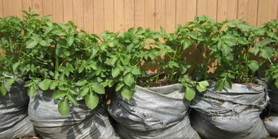 Картошка в бочках - прекрасный урожай!