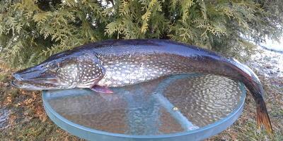 Рыбные радости нашей дачной жизни