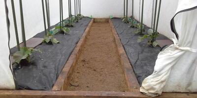 Продолжаю наблюдение  - как растут мои огурчики в тестируемой теплице