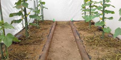 Продолжаю наблюдение - как растут мои огурчики в тестируемой теплице. Еще прошла одна неделька.