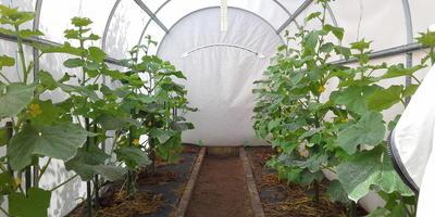 Продолжаю наблюдение - как растут мои огурчики в тестируемой теплице. За недельку огуречные кустики пошли в рост