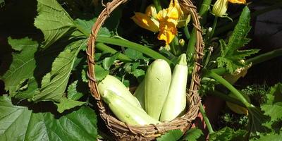 Рулетики из молодых кабачков с куриным филе, с сыром и базиликом
