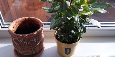 """Как узнать возраст моего растения """"Лавр""""?"""