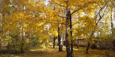 Осень золотая! Почему в нашем дворе только желтые кленовые листья?