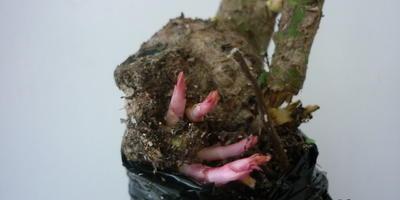 От места прививки на саженце розы растут новые веточки. Надо ли их удалить?
