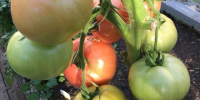 Конкурс 100 000 рублей за помидор. Малиновое чудо - самые вкусные помидоры!