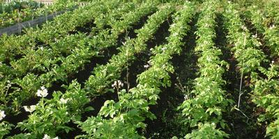 Вот такой урожай картофеля вырос в этом году