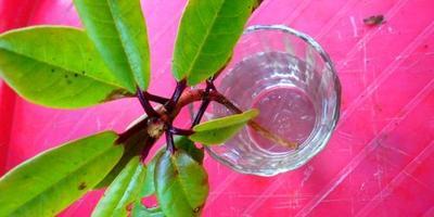 Как укоренить рододендрон?