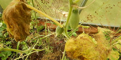 Огурец Малышки-хрустишки F1. VII этап. Пожелтение листьев. Конец плодоношения