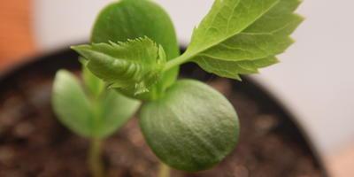 Как поступить с ростками яблони?