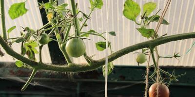 Томат Диковинка. Теплица.  VII этап. Окончание  плодоношения. Удаление растений