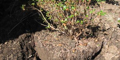 Рододендроны в подмосковном саду. Олин опыт. Часть 2