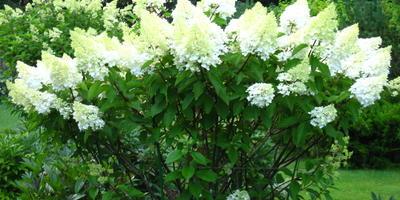 Многоликая метельчатая гортензия (Hydrangea paniculata) и альтернативный взгляд на формирующую «классическую» обрезку. Часть 1